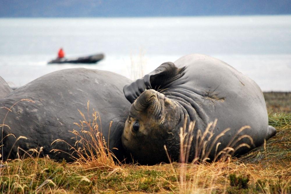Éléphants de mer, Terre de feu