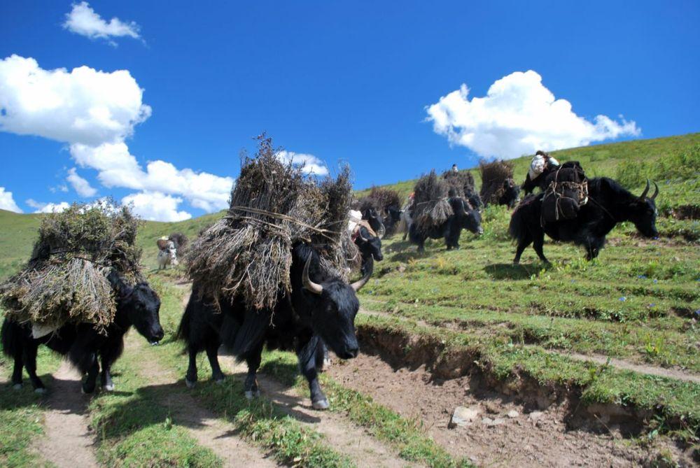 Sur la route des yaks