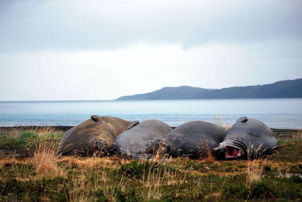 Éléphants de mer en Patagonie