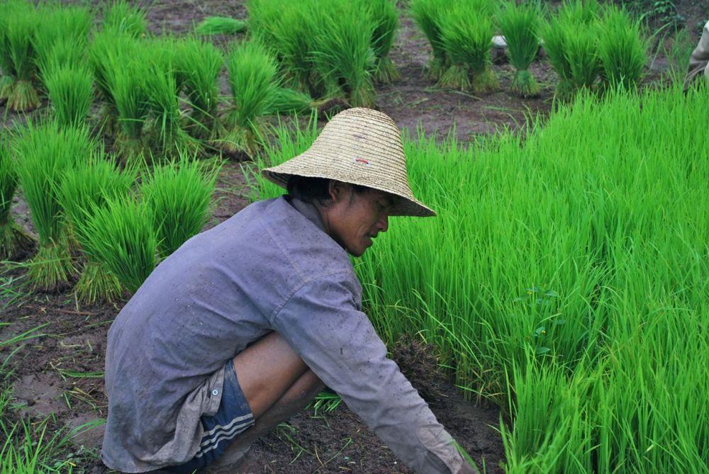 Repiquage du riz au nord du Laos
