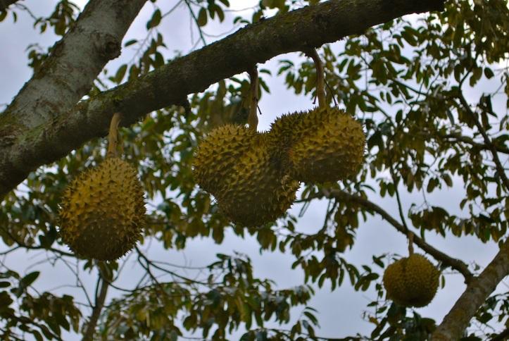 71-fruit puant