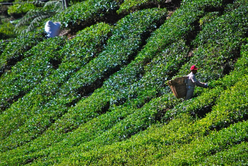 Plantations de thé des Cameron Highlands