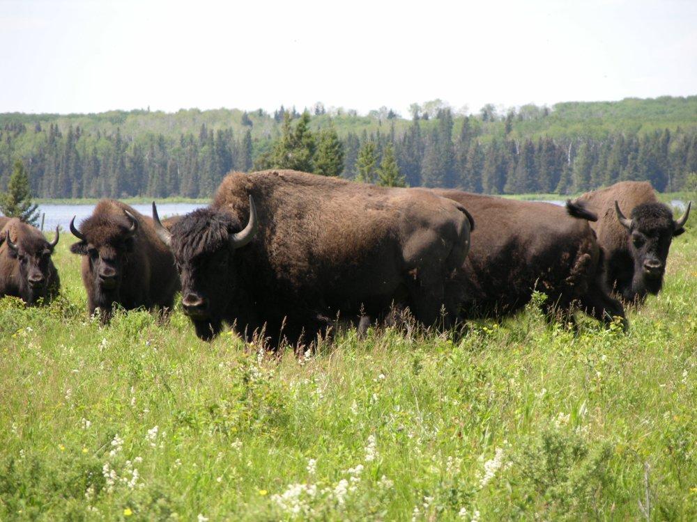 Bisons au Parc National du Mont-Riding