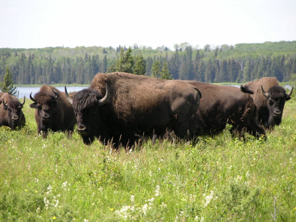 Bisons au Parc National du Mont-Riding