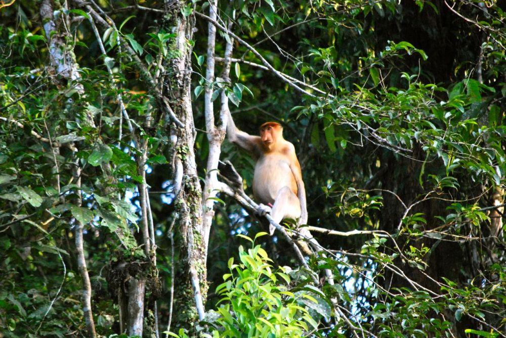Singe nasique, endémique de Bornéo.
