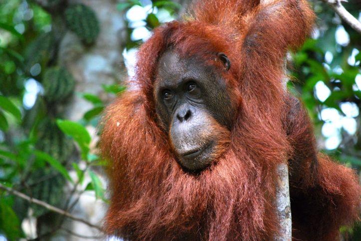 Île de Bornéo, Malaisie, terre des grands singes